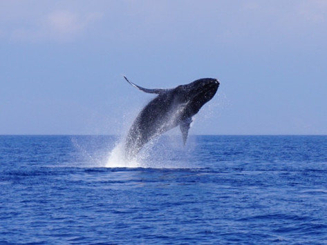 How many Humpback whales are there?