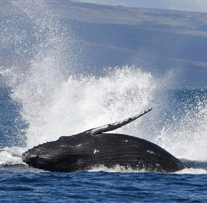 Maui Whale Watching Tours