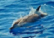 Maui Spinner Dolphin