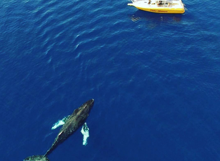 Why is West Maui So Famous For Humpback Whales?