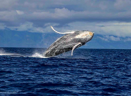 Whale Of A Time On Maui