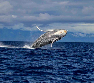 Makai Adventures Maui Whale Watching Tour