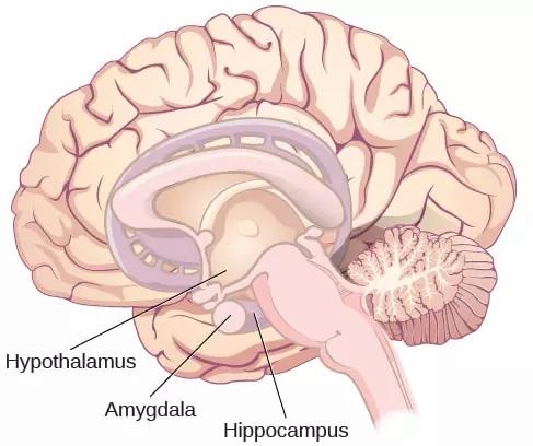 cerebro estrés daño psicólogo