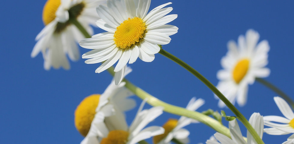 daisies-388946_1920.jpg