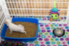 Chihuahua Puppy, litterbox training