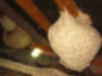 Picture of wasp nests in a loft taken by Lancashire Wasp Control