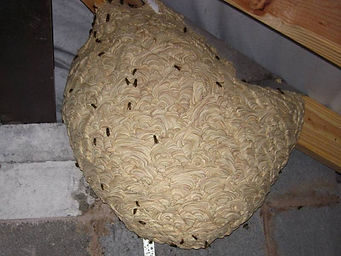Photograph of a wasp nest in a loft from Lancashire Wasp Control