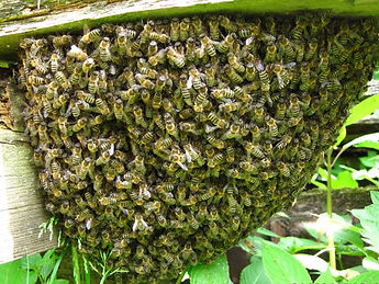 Photograph of a swarm of Honey Bees taken by Lancashire Wasp Control