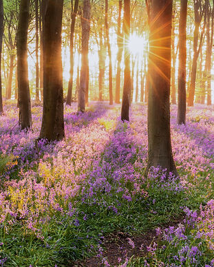Beautiful woodland bluebell forest in sp