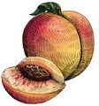 Peach - JPG_edited.jpg