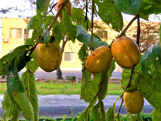 秋、柿、季節はうつります