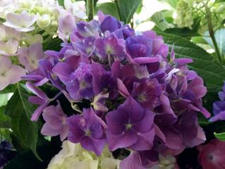 「紫陽花を味わう会」開催しました!
