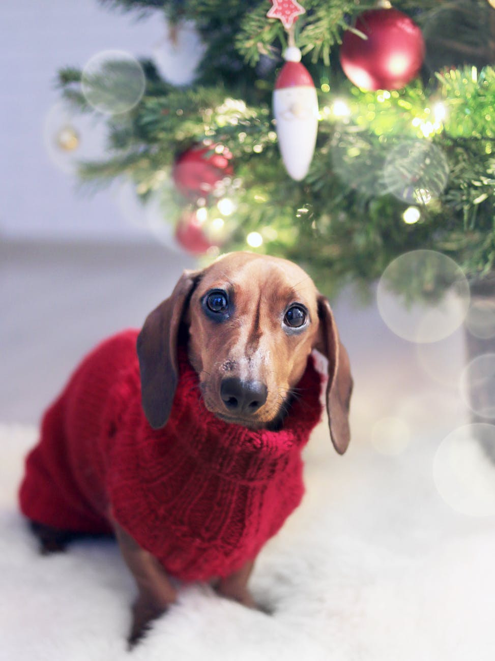 Cute sausage dog: Festive anxiety