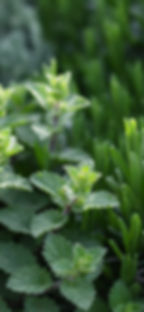 Le piante di erbe