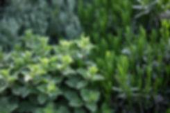 plantas herbáceas