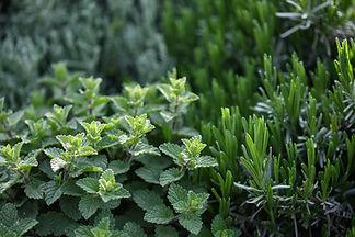 Las plantas de hierbas
