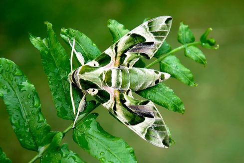 Moths in the Philippines