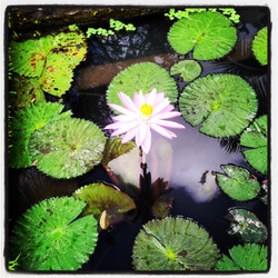 consider the lotus