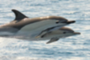 Common Dolphin Gareth Knass Spring 2011