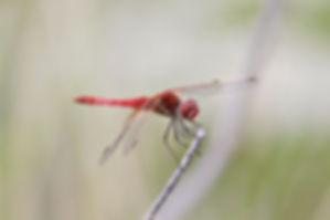 Red-veined Darter.JPG