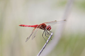 Red-veined Darter.JPG