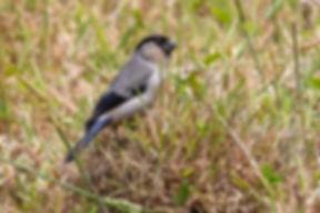 AGAMI-Azores-Bullfinch-Azores-Vincent-Le