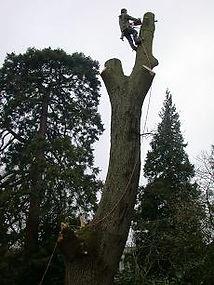 felling-largeoak.jpg