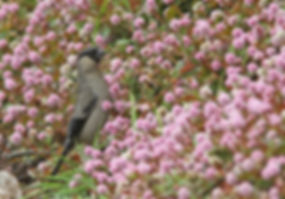 290511- Azores Bullfinch 062.JPG