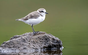 AGAMI-Kentish-Plover-Azores-VincentLegra
