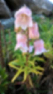 Azores Bellflower