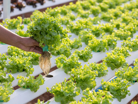 Hydroponic Produce in the Grocery Stores