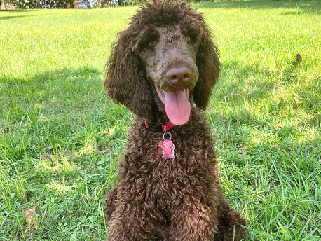 Meet Charlie, our adopted Doodle!