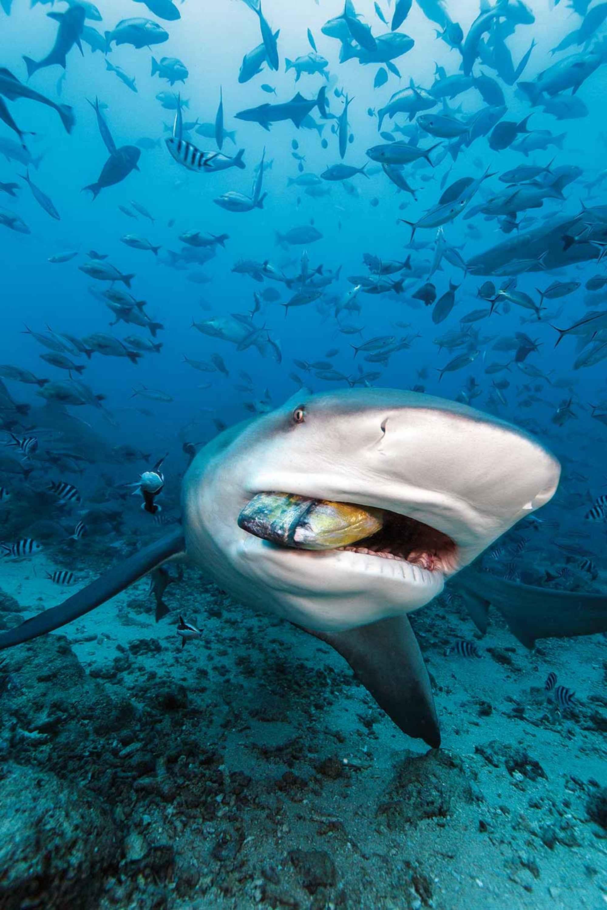 bull-shark-7662