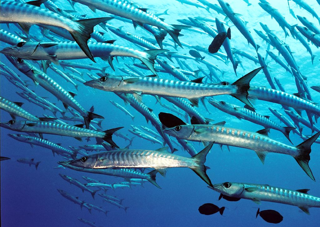 Barracuda-group