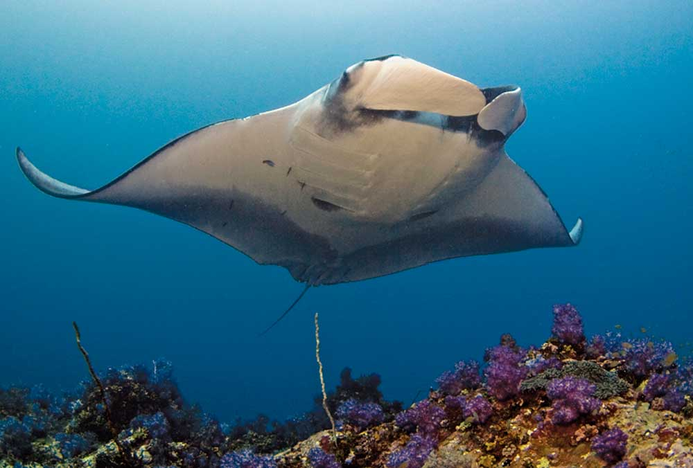Giant-manta-at-black-rock-copy