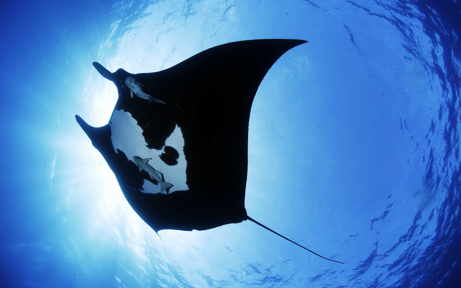 Giant-Oceanic-Manta-Ray-Wallpaper