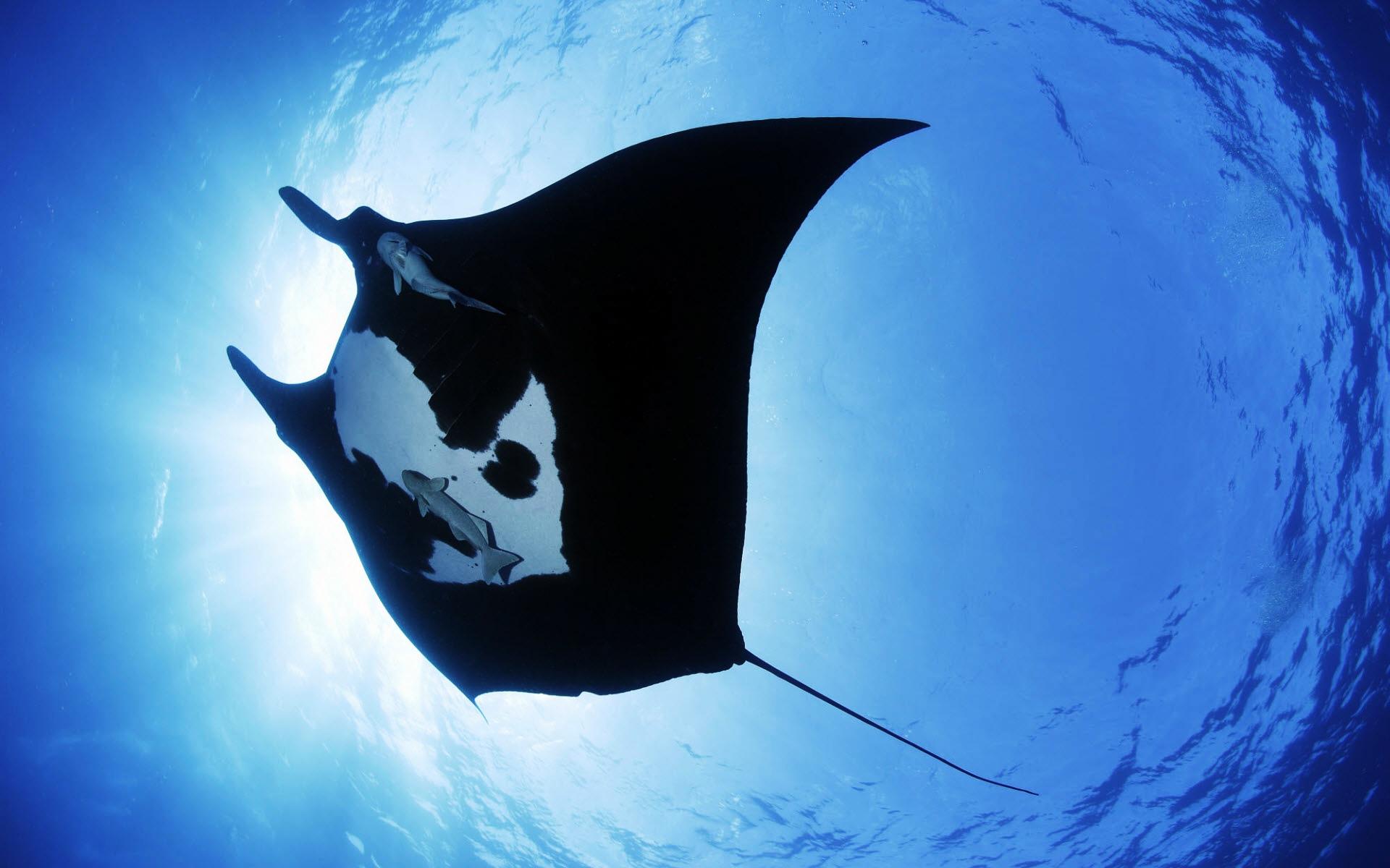Giant-Oceanic-Manta-Ray-Wallpaper