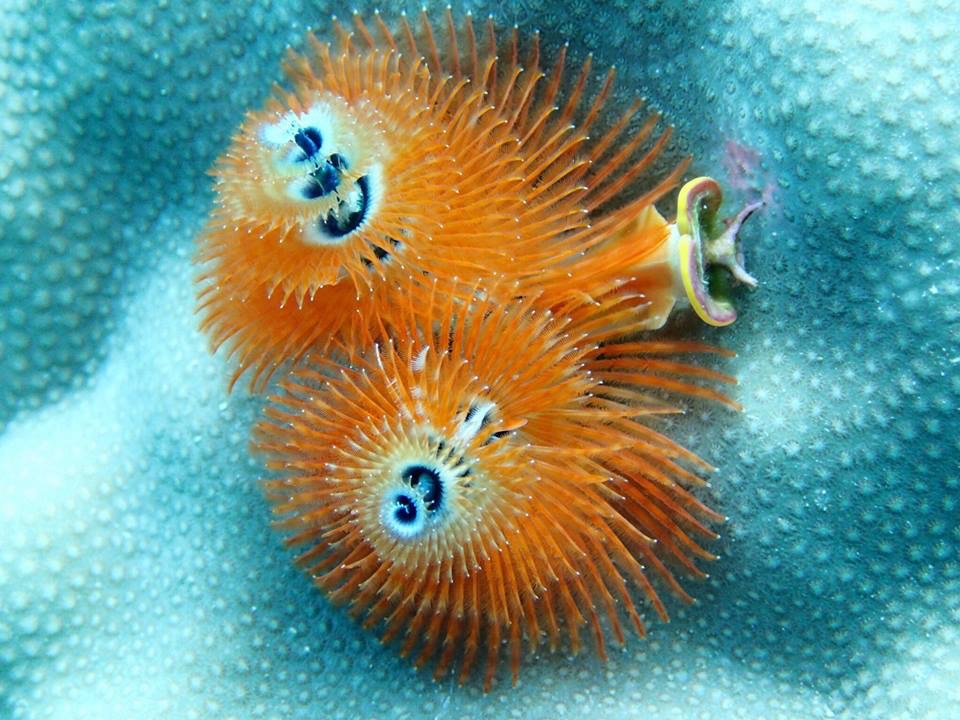 Vibrant Christmas tree worm found while diving the reef around Namena Island Resort, Fiji