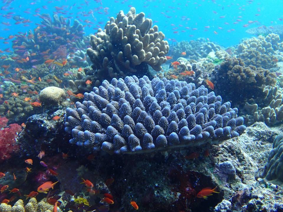 beautiful coral seen diving off Namena Island Resort, Fiji