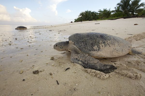 green-turtle-returning-to-sea