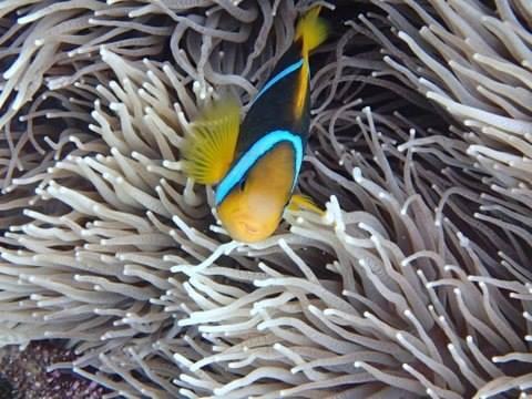 Anenome Fish diving Namena Island Resort, Fiji