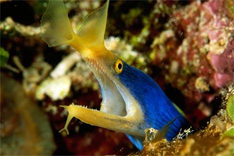 blue-ribbon-eel-laman-981936-ga
