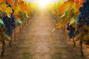 grapes-in-vineyard-landscape-in-transylv