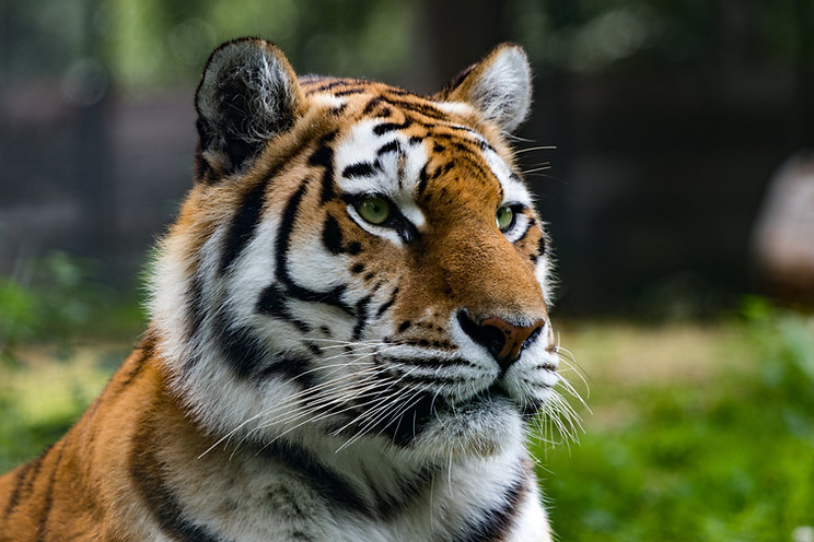 closeup-shot-of-siberian-tiger-in-jungle