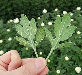 국화 흰녹병잎.jpg