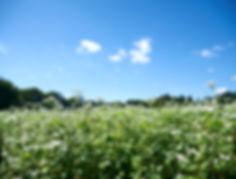 天童高原、そば畑、そばの花、そばの実