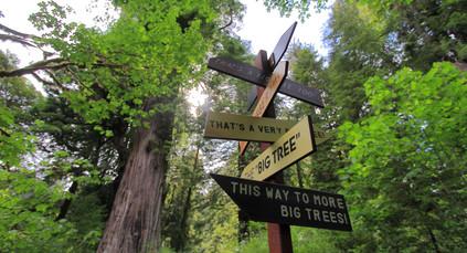 The Big Tree, Redwood NP, Californie, USA