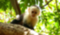 photographe francais french photographer travel photography photographie voyage angle beauty composition perspective light colorful colourful couleurs scenic view nature animals animaux animal fauna wildlife singe monkey capucin trees tree puntarenas costa rica pura vida