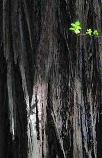 Avenue of the Giants, Californie, USA