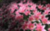 photographe francais french photographer travel traveler photography photographie voyage voyageur angle home brice retailleau quintessence de voisinage bright website backpack backpacking backpacker beauty best composition perspective pure light colorful colourful couleurs scenic view point of de vue viewpoint trip tour du monde around the world earth wonderful beautiful gorgeous amazing journey destination tourisme tourism backpacking , spring printemps nature close up vegetation flora europe holland hollande pays bas garden jardin tulip tulipe tulips tulipes keukenhof parc park purple pink dutch